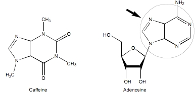 Caffeine competitively inhibits different adenosine ...
