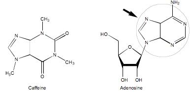 카페인(caffeine)의 아데노신 수용체(adenosine receptors) 억제작용   Herbalzym